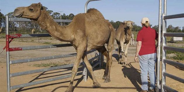 The camels come into the dairy at milking time of their own free