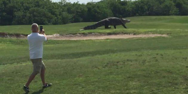 Giant gator on a Florida golf course.