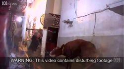 Shocking Footage Of Australian Cattle Bludgeoned To Death In