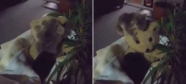 This koala joey does NOT want to snuggle with her