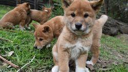 Three Words. Cute Dingo