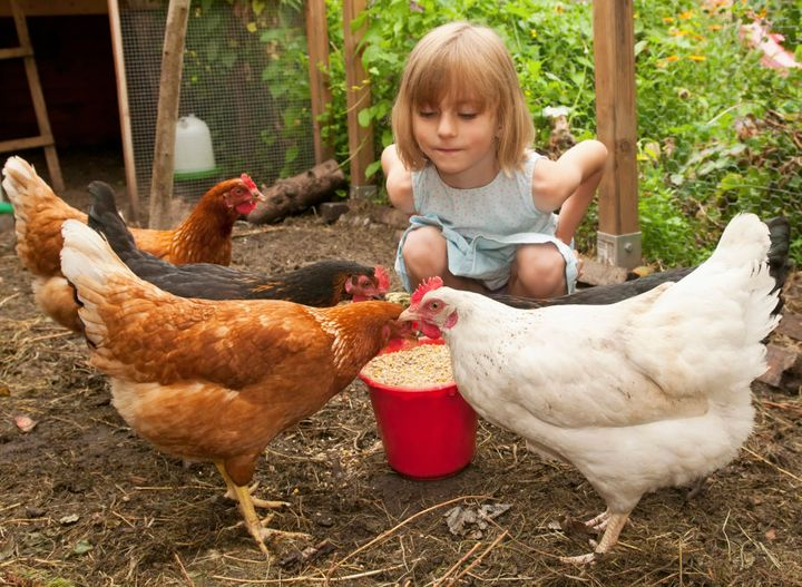 Several Aussie companies allow people to rent chickens before they commit to buying.