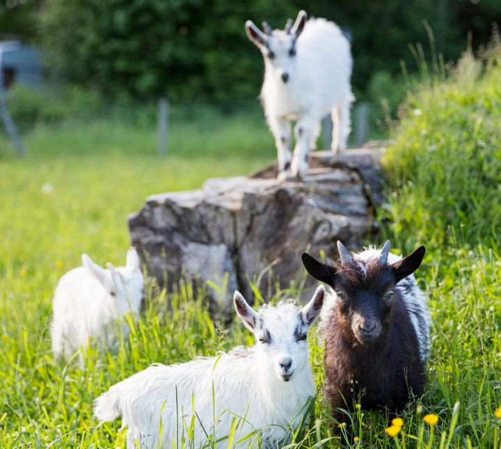 We're not kidding -- you can hire a herd of goats to clear your paddock or block.