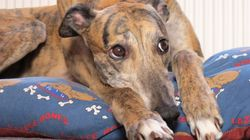 There Are Already Six Racing Greyhounds In Need Of A
