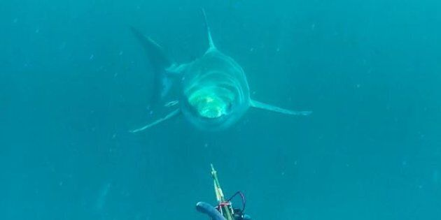 A great white shark comes out of the depths near off Cape