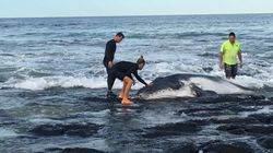 The Moment A Stranded Humpback Whale Calf Is Reunited With Its
