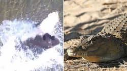 Watch This Massive Saltwater Crocodile Launch Itself At A