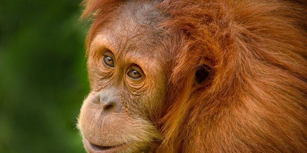 Perth Zoo's Orangutan Nyaru has gone home to
