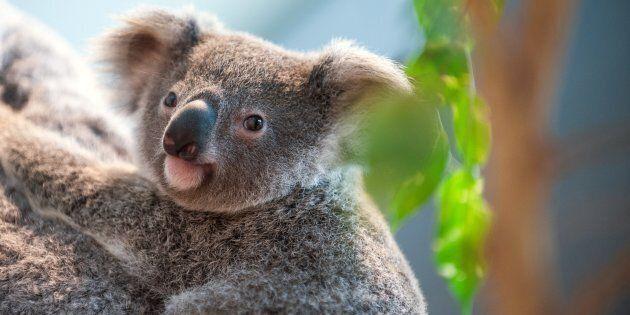 Koalas need our