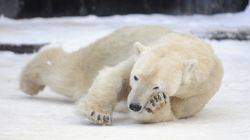Polar Bears Have Trapped Scientists On A Russian Arctic Weather