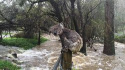 This Koala Is Left Drenched Amid Widespread