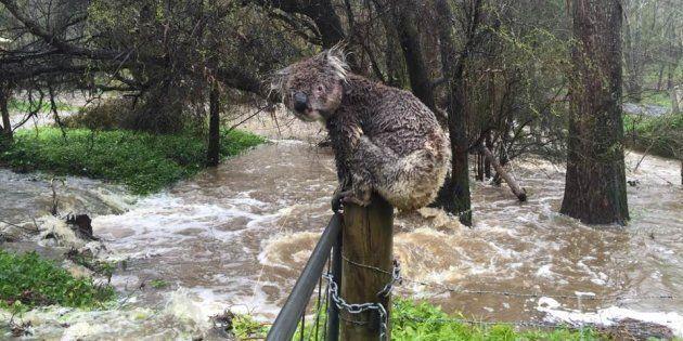 The Soggy Koala Of South Australia Inspires Koala Rescue