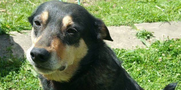 Notorious wanderer Honey has been deemed the 'Houdini of the canine world'.