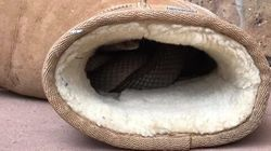 Bloody Hell, This Woman Found A Deadly Snake In Her Ugg
