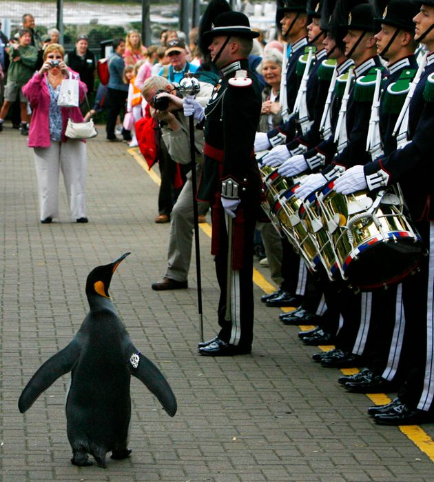 King penguin Sir Nils Olav III walks past soldiers from the Norwegian King's