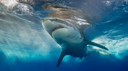 Why A Revenge-Motivated Shark Cull Is Floated After An