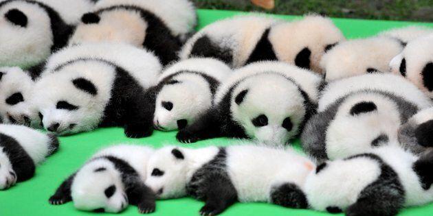 23 giant panda cubs walk into a