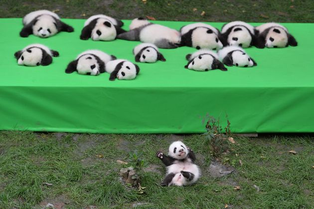 23 Adorable Panda Cubs Met The Public For The First