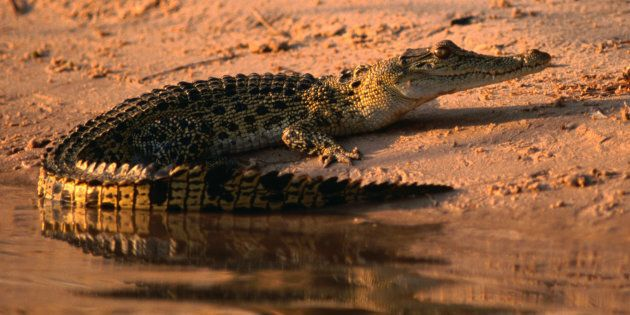 Sure freshwater crocodiles have a bad bite but they've got nothing on their saltwater