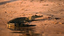 Watch As A Crocodile Lingers After Biting A Teenage