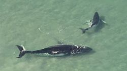 A Humpback Whale Helps Its Mother To Freedom Off Queensland