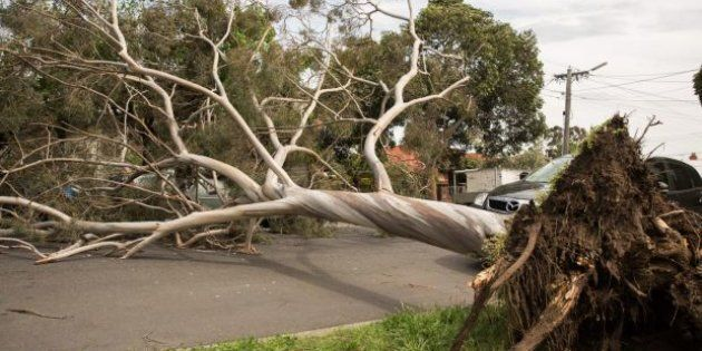 A large tree has blown over blocking Rossmoyne Street in Thornbury, Melbourne. Most of the emergency...
