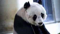 The World's Oldest Captive Panda Has