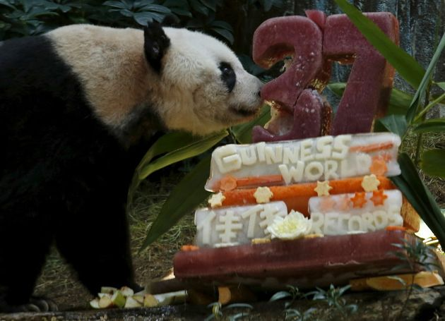 The World's Oldest Captive Panda Has