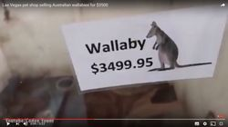 A Petshop In Las Vegas Is Selling Wallabies As Pets For