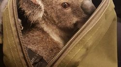 Police Just Found This Adorable Koala In A Woman's Bag And How Is This Even