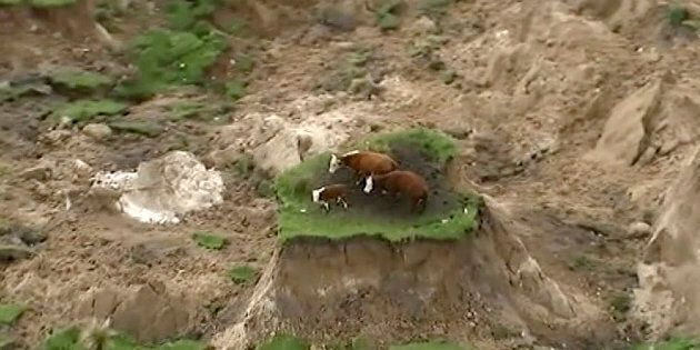 Three cows have been saved from a mini island created by the NZ