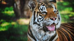 Indira The Cross-Eyed Tiger Stuns Surgeons With Miraculous