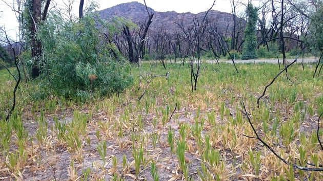 Conservationists are using the 3D glasses to target sallow wattle, an invasive weed in the Grampians...