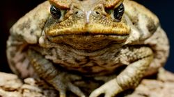 Ingenious New Cane Toad Trap Uses Own Poison Against