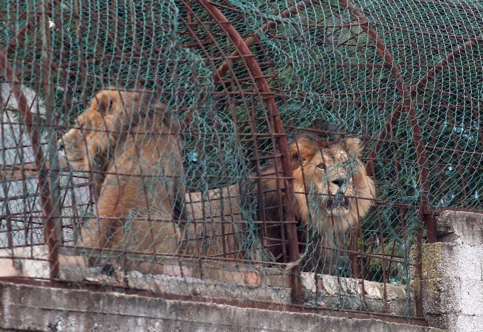 Πώς σώθηκαν τρία λιοντάρια από μία άθλια ζωή στην