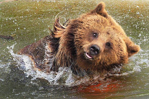 Un ours signalé au Portugal pour la première fois en près de 200