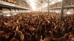 L214 publie des images de poulets entassés à 22 par mètre
