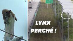Ce lynx coincé sur un poteau électrique a tenu des milliers d'internautes en