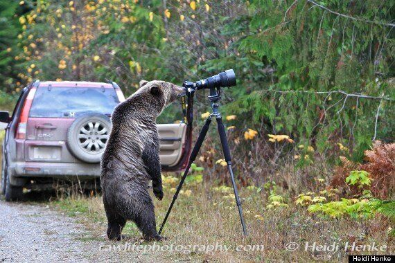 Grizzly Bear Who Wants To Be Photographer Was Very Real