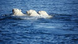 Polar Bears Could Find Last Refuge In Canada's High