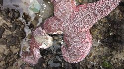 Mystery Of Dissolving Starfish