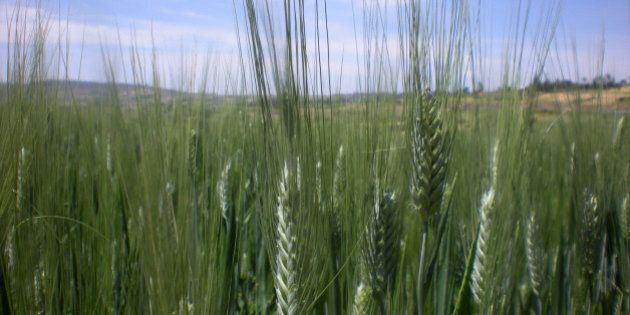 This photo taken Wednesday, Oct. 10, 2012 shows the half hectare wheat farm of Ethiopian farmer Bedlu...