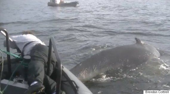 Tangled Whales In B.C. Keeping Officials Busier Than Usual