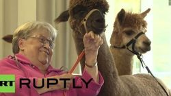 Alpaca Therapy Is The Only Kind Of Animal Therapy We Want (Sorry,