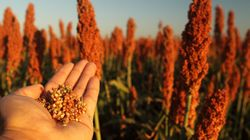 Sorghum: The New Must-have Gluten-free Ancient