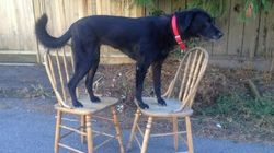 B.C. Dog Poses On Chairs, Helps Fight Cancer, Melts