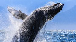 Humpback Whale REMOVED From 'Threatened'