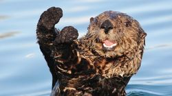 Otters Aren't Just Adorable, They Matter to Human