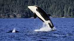 WATCH: This Is How Fast Killer Whales Attack In