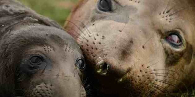 Elephant Seal Pup Born In Victoria Is An Internet Star